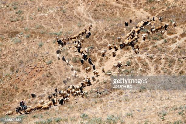 A shepherd riding on a donkey guides a flock of sheep down a mountain valley in the Dahr alBaydar region of Lebanon east of the capital on July 26...