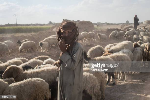 A shepherd stand with his flock of sheep on a road in the western neighborhood of Jazrah on the outskirts of Raqqa on October 30 2017 in Raqqa Syria...