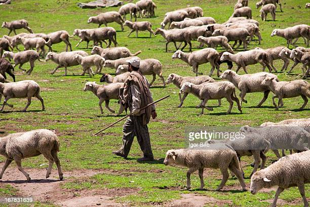 CONTENT] A shepherd taking his flock of sheep to higher pastures Close to Srinagar in Jammu Kashmir province India Indian SubContinent Asia