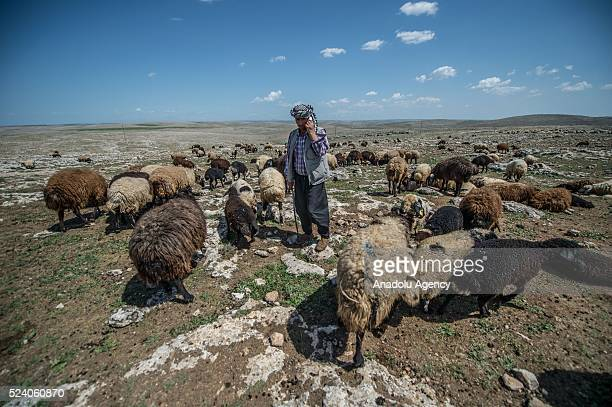 Shepherd talks on cell phone charged with solar panels carried by donkeys in Turkey's Sanliurfa on April 25 2016 Shepherds spend most of their times...