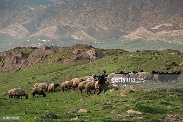KURDISTAN A shepherd tends to his flock