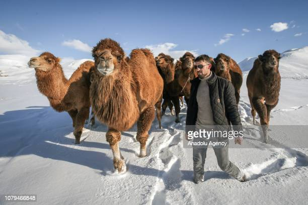 A shepherd trains camels to improve their strength and endurance for wrestle and race events in Baskale district of Van Turkey on January 08 2019