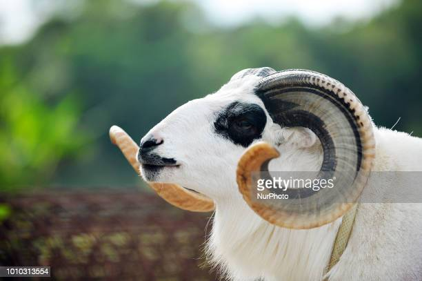 A shepherd trains the physical and massages the sheep in the village of Mekar Jaya Tarogong Kaler District Garut On August 32018 Sheep care is done...