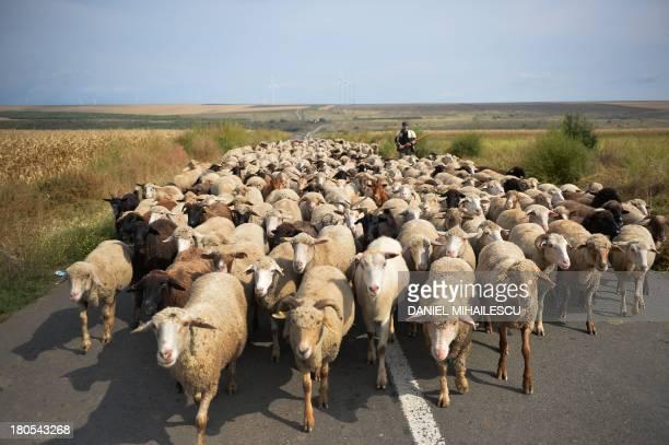 A shepherd walks with his flock of sheep near the village of Cudalbi Romania on September 14 2013 AFP PHOTO DANIEL MIHAILESCU