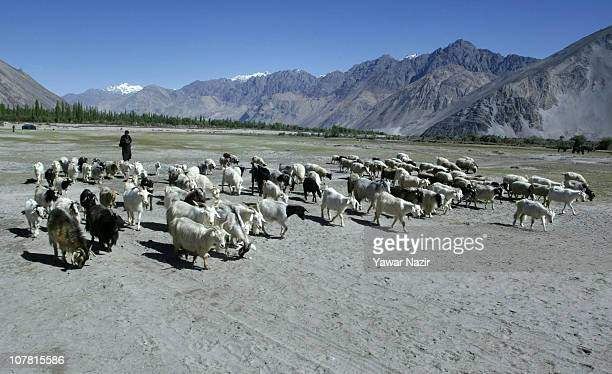 A shepherd walks with his herd of Pashmina goats in Nubra Valley some 600 KM east of Srinagar the summer capital of Indian administered Kashmir India...