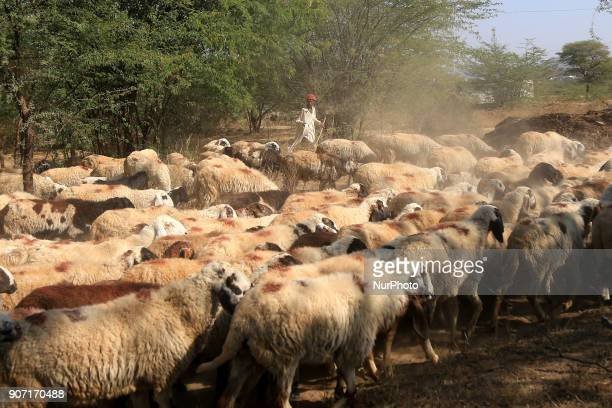 A shepherd walks with his Sheeps outskirts village of Ajmer India on 19 January 2018
