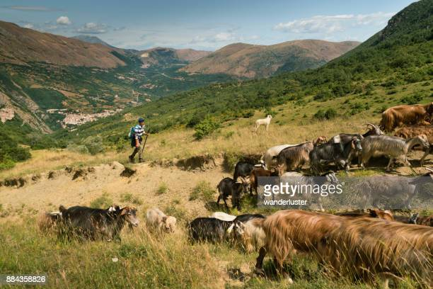 shepherd watches herd of goats in italian mountains - animal behaviour stock pictures, royalty-free photos & images