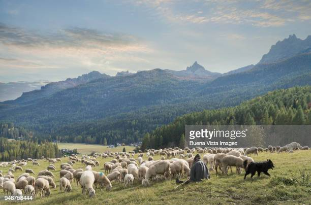 shepherd watching a flock of sheep and talking at the cell phone. - eden pastora fotografías e imágenes de stock