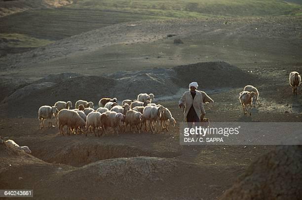 Shepherd with a flock of sheep between Bou Hanifia and Mascara Algeria