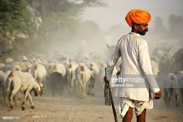 a shepherd with a herd of goats in rajasthan, india. - headwear stock pictures, royalty-free photos & images