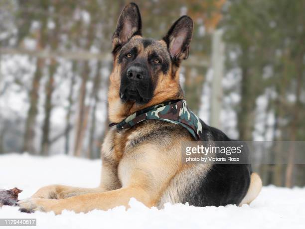 shepherd with camo bandana - german shepherd stock pictures, royalty-free photos & images