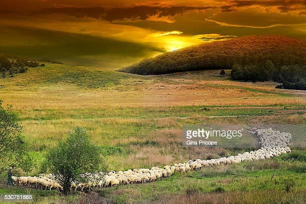 shepherd with flock at sunset - pastor de ovelha - fotografias e filmes do acervo