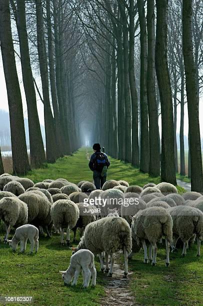 Shepherd avec Troupeau de moutons follwoing chemin entre de grands arbres.