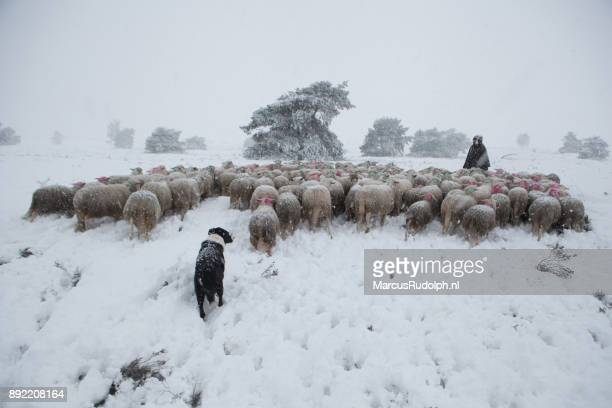 Shepherd with flock of sheep in snowy landscape