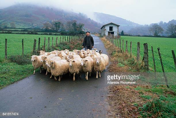 Shepherd with Flock on Road