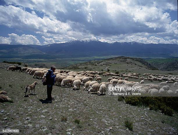 shepherd with flock - alamany fotografías e imágenes de stock