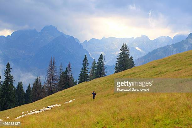 CONTENT] A shepherd with flock sheep High Tatra in the background