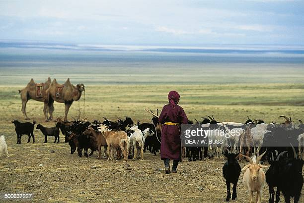 Shepherd with goats and camels Gobi Desert Mongolia