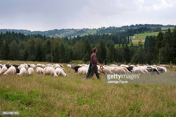 Shepherd with grazing sheep in Poland.