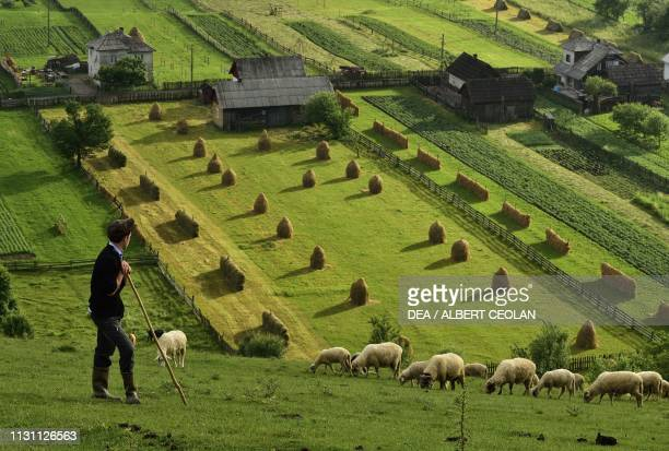 Shepherd with grazing sheep, with meadows and haystacks in the background, countryside around the Moldovita monastery, Bukovina, Romania.