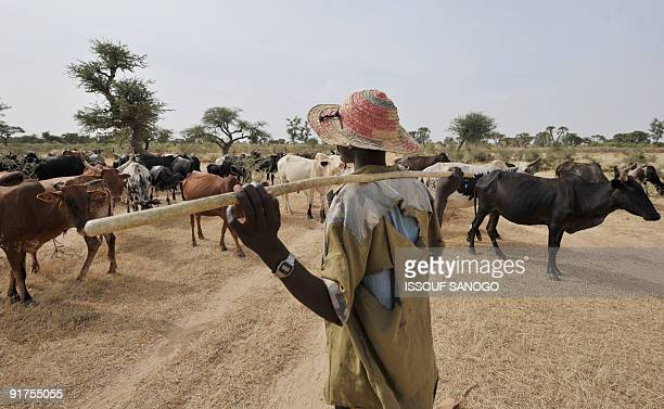 HIEN A shepherd with his cows is seen October 10 2009 near the village of Selbo in northern Burkina Faso where the locals are planting grass to help...