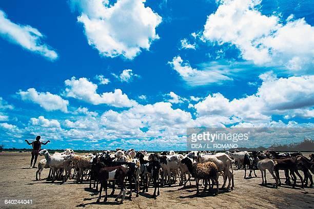 Shepherd with his flock of Macina sheep, Sahel, Mali.