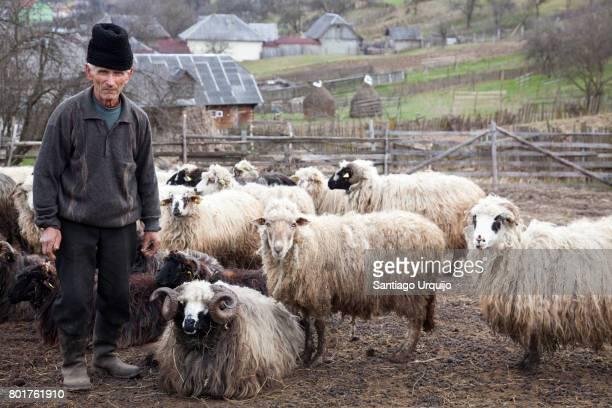 shepherd with his flock of sheep - rumänien stock-fotos und bilder