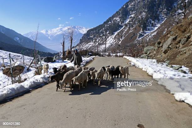 A shepherd with his herd at Pahalgam the famed tourist resort in south Kashmir district of Anantnag 100 Km south of Srinagar The night temperatures...