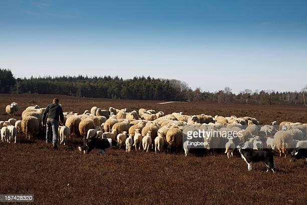 Shepherd with his herd of sheep
