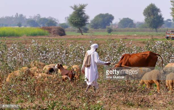 shepherd with his herd - pakistani culture stock photos and pictures