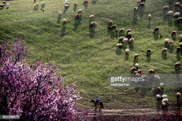 Shepherd with sheep in the prairie  in XingJiang China