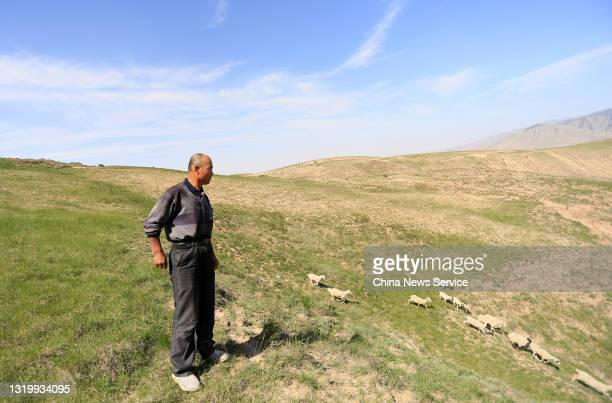 Shepherd Zhu Keming, who saved the lives of six runners during a mountain ultramarathon on last Saturday, looks at his sheep on May 24, 2021 in...
