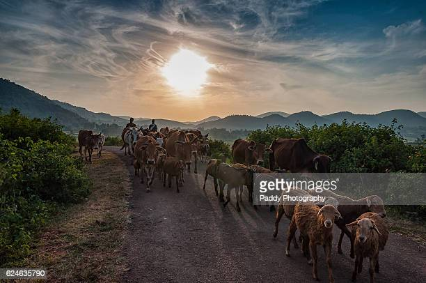 Shepherders, Araku Valley