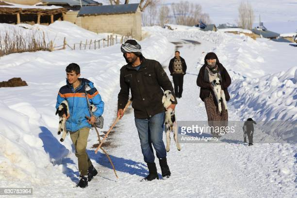 Shepherds carry baby goats after herding their animals during inclement weather in Yukari Yongali village in Mus Turkey on January 1 2017 Shepherds...