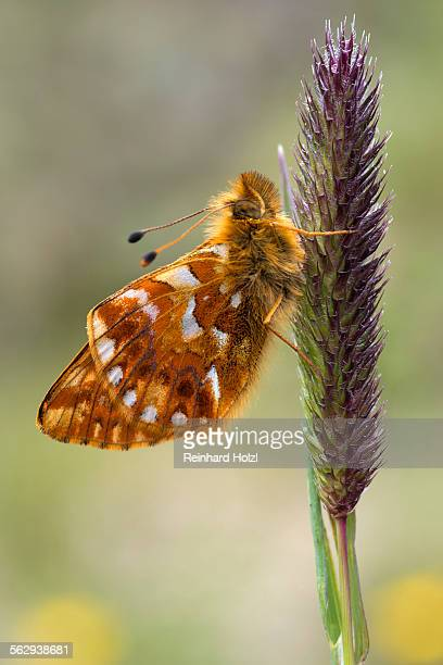 shepherds fritillary -boloria pales-, pitztal or pitz valley, tyrol, austria - animal digestive system stock photos and pictures