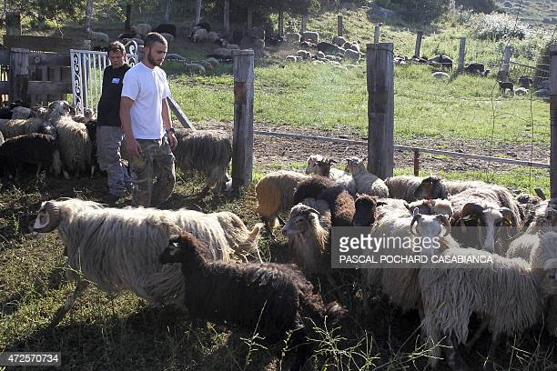 Shepherds gather their sheep prior to their shearing on May 8 2015 in Appietto on the French Mediterranean island of Corsica AFP PHOTO / PASCAL...