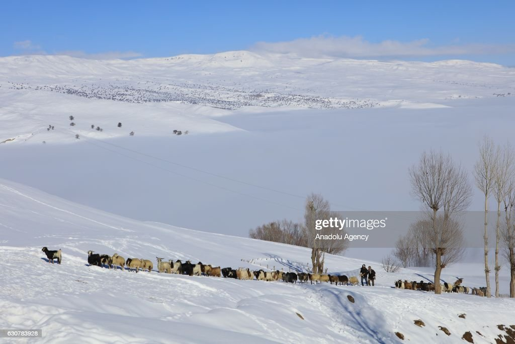 Herding in winter in Turkey's Mus : News Photo