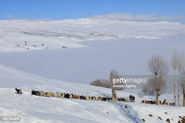Shepherds herd their flocks as they carry baby goats during inclement weather in Yukari Yongali village in Mus Turkey on January 1 2017 Shepherds...