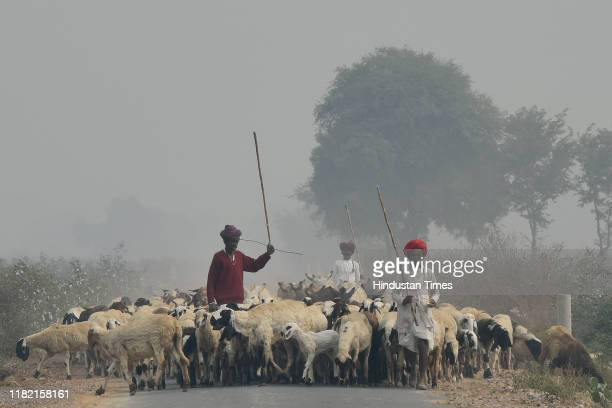 Shepherds lead a herd of cattle amid smog at Mohangarh village on November 13 2019 in Jind India