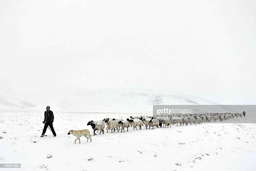 Shepherds make their way back home with hundreds of sheep from uplands where they stayed for six months after heavy snowfall on November 25, 2014 in Van, Turkey.