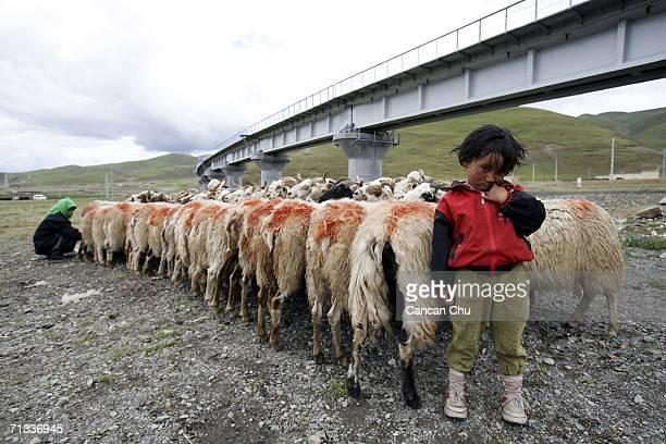 Shepherds milk sheep near a railroad bridge of the QinghaiTibet Railway on June 29 2006 in Dangxiong County Tibetan Autonomous Region China The...