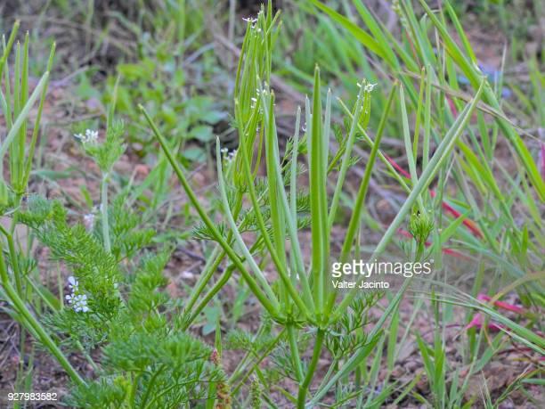 Shepherd's Needle (Scandix pecten-veneris)