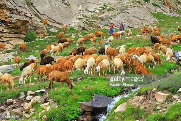 shepherds of kaghan - pastor de ovelha - fotografias e filmes do acervo