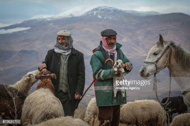 Shepherds Osman Faran and Gurgin Dinc rest with their sheep as they stop on the way to their villages from a highland of Van's Gurpinar District...