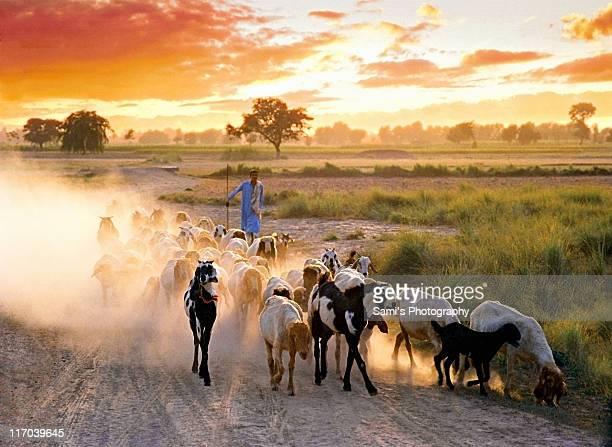 shepherd's return - パキスタン ラホール市 ストックフォトと画像