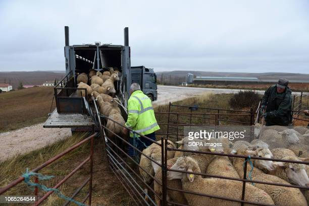 Shepherds seen loading up sheep into a truck during the seasonal migration Seasonal migration of flock of sheep from the village of Borchicayada...