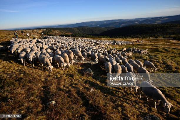 Shepherds stand on a hill with sheep on August 27, 2020 in Prevencheres, southern France, as shepherds and sheep breeders of the pastoral group of...