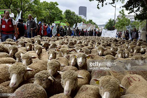 Shepherds take part in a rally with their cattle Paris on June 23 2013 The two main farmers unions organized a rally with farmers from all over...
