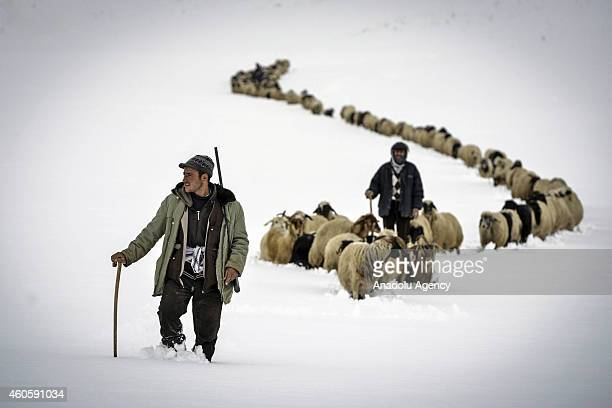Shepherds walk with their sheep and the goats amidst the heavy snow during the seasonal migration from the plateau back to their villages in Catak...