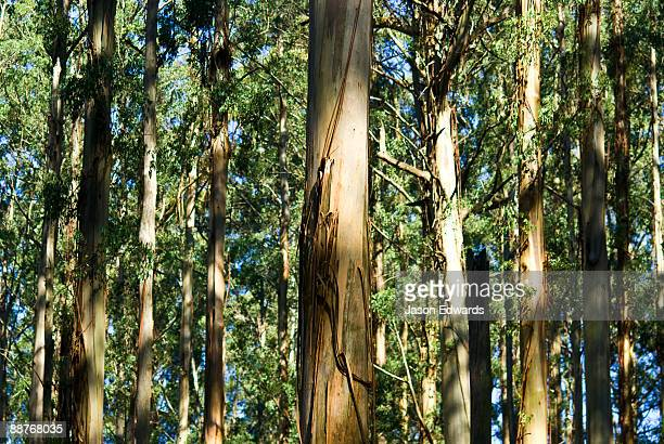 A massive stand of Mountain Ash the planets tallest flowering plant.